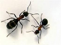 Ant Exterminators Oklahoma City