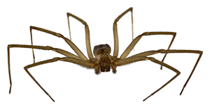 Brown Recluse spiders exterminator